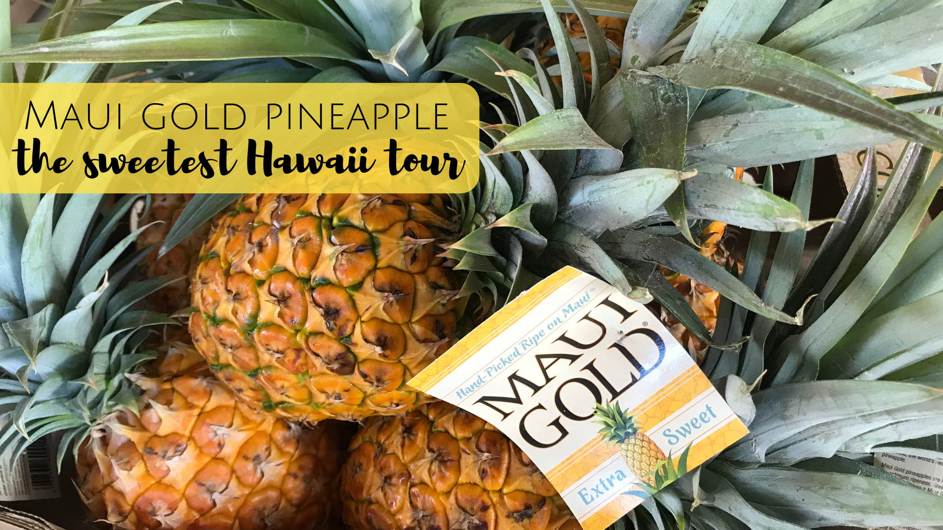 Maui Gold Pineapple Tours in Maui, Hawaii. The only pineapple farm tour in the US.